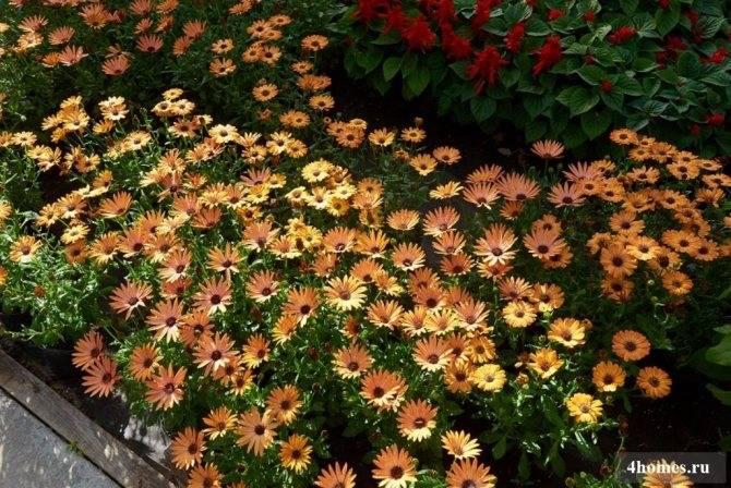 Остеоспермум: описание, уход и выращивание
