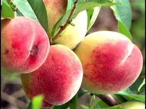 Персик донецкий желтый: описание сорта и характеристики, посадка и уход, хранение