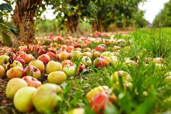 Делаем подпорки для яблони своими руками: лучшие варианты защиты от расщепов