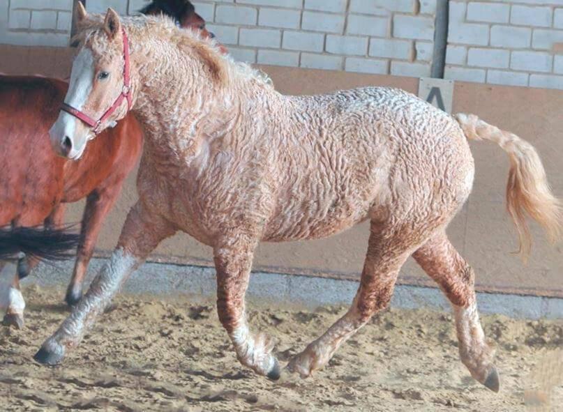 Будeнновская лошадь: описание, происхождение, состояние породы, продуктивность