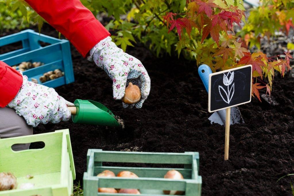 Когда и как правильно сажать тюльпаны?