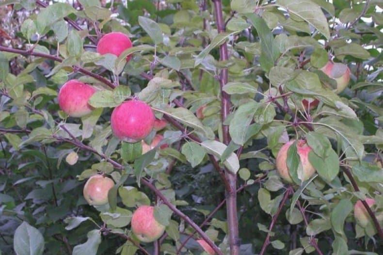 Характеристика и описание яблони «белорусское сладкое»