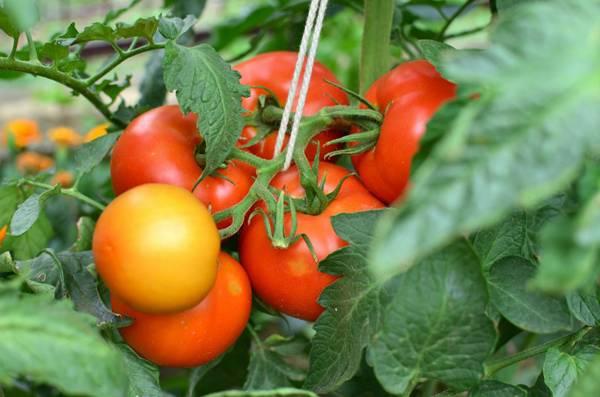 Какие сорта томатов лучшие всего подходят для Подмосковья