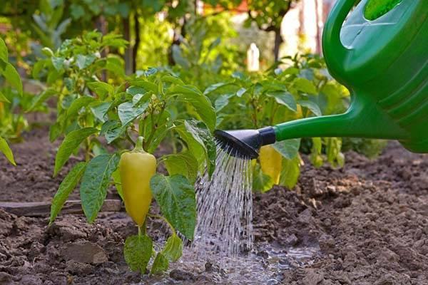 Как часто поливать перец в открытом грунте и теплице