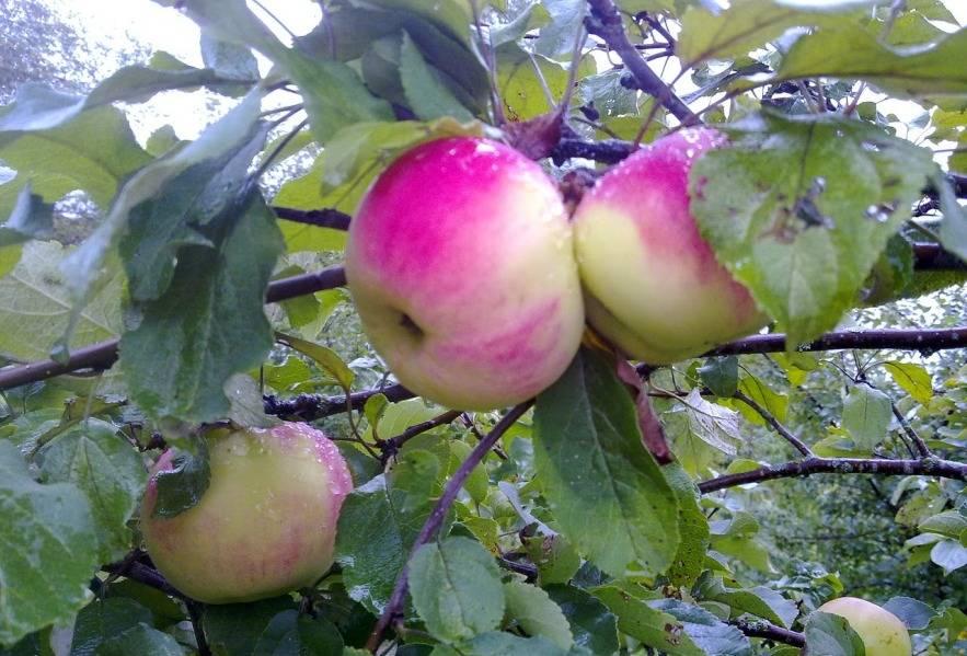 Неприхотливая яблоня строевское: описание, фото, выращивание