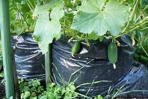 Посадка огурцов в мешках с землей: пошагово с фото