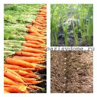 От чего зависит срок посева моркови весной и когда ее лучше сажать?