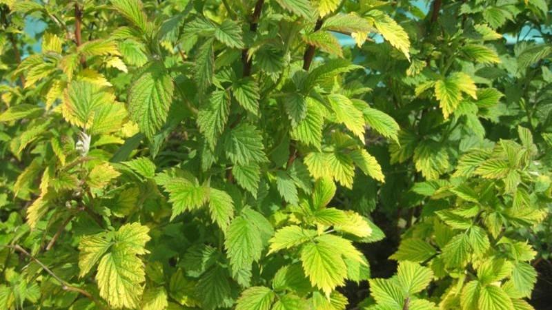 У смородины желтеют листья в июне: почему это происходит и что делать в таком случае