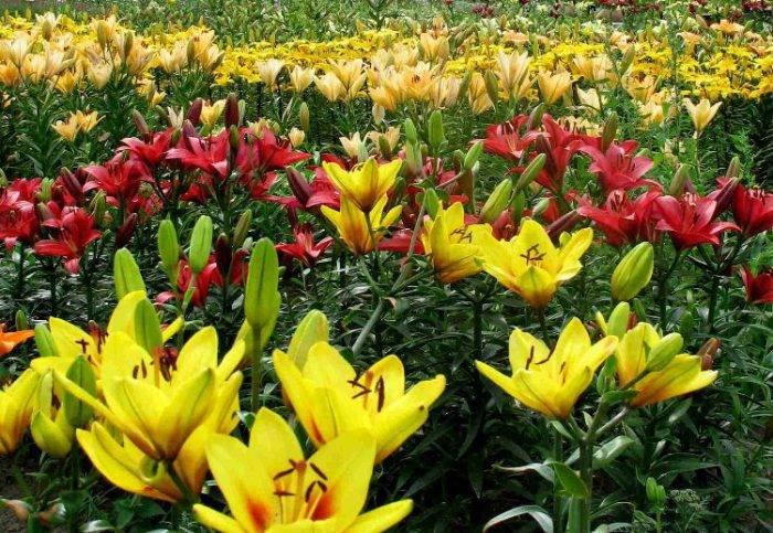 Как правильно подкармливать лилии весной и летом: лучшие удобрения и схемы их внесения