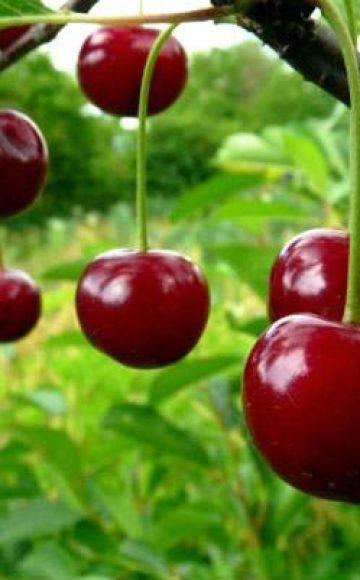 Вишня драгоценный кармин: описание сорта, характеристики урожайности, посадка и уход
