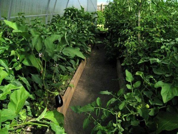Можно ли в одной теплице сажать помидоры, огурцы, перец и баклажаны?