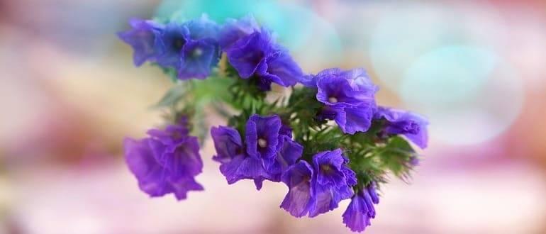 Секреты успешного выращивания статицы (бессмертника, кермека) — посадка и уход в открытом грунте