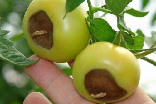 Методы борьбы с вершинной гнилью томатов