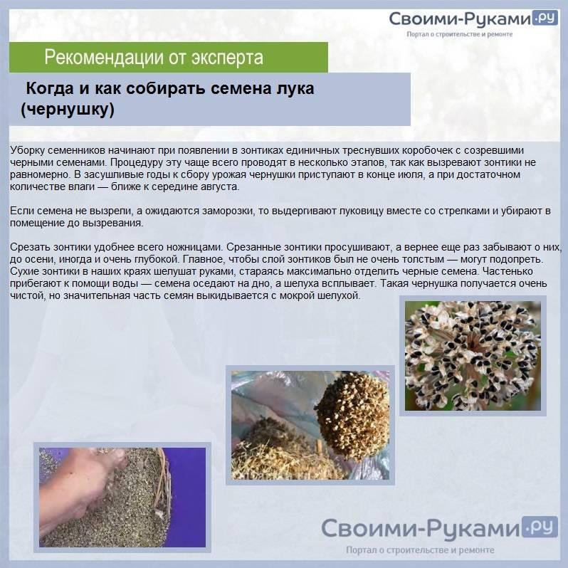 Посадка лука чернушки весной: посев, когда сеять, как сажать правильно?