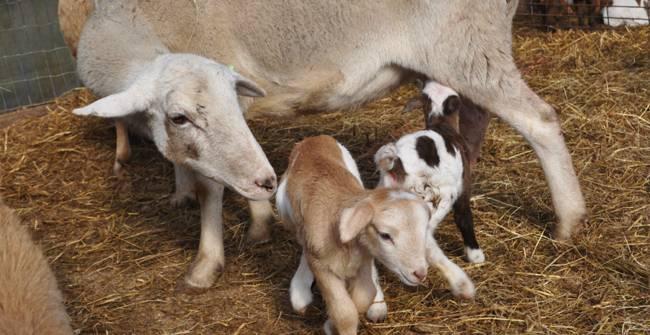 Основные правила разведения овец и баранов, пошаговый процесс обустройства овчарни, уход за животными