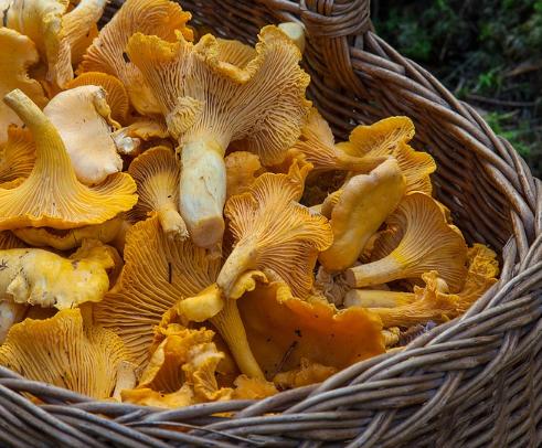 Сколько хранить лисички после сбора. как хранить грибы лисички без потери питательных качеств