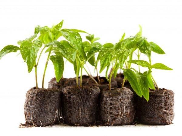 Томатам приглянулась «улитка»: сеем семена в грунт и на бумагу, растим с пикировкой или без неё