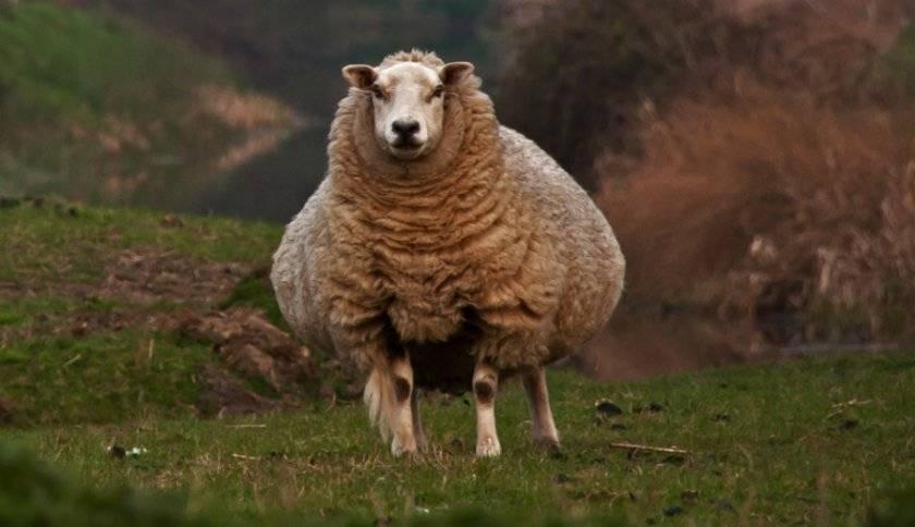Коза рожает – готовимся к приему козлят