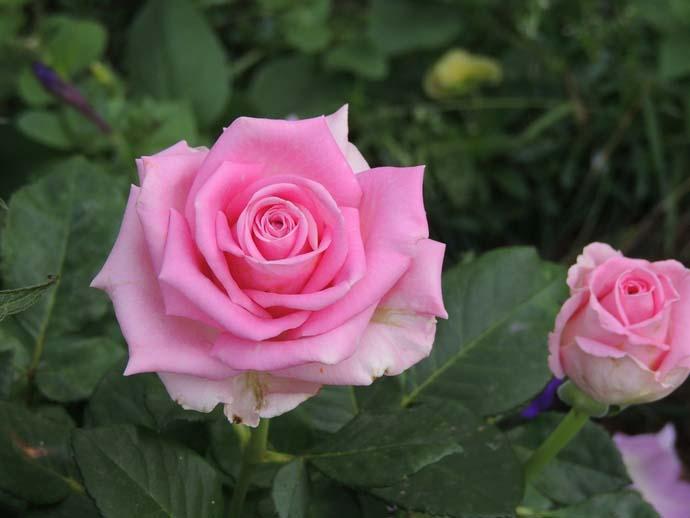 Aqua — чайно-гибридная срезочная роза из нидерландов