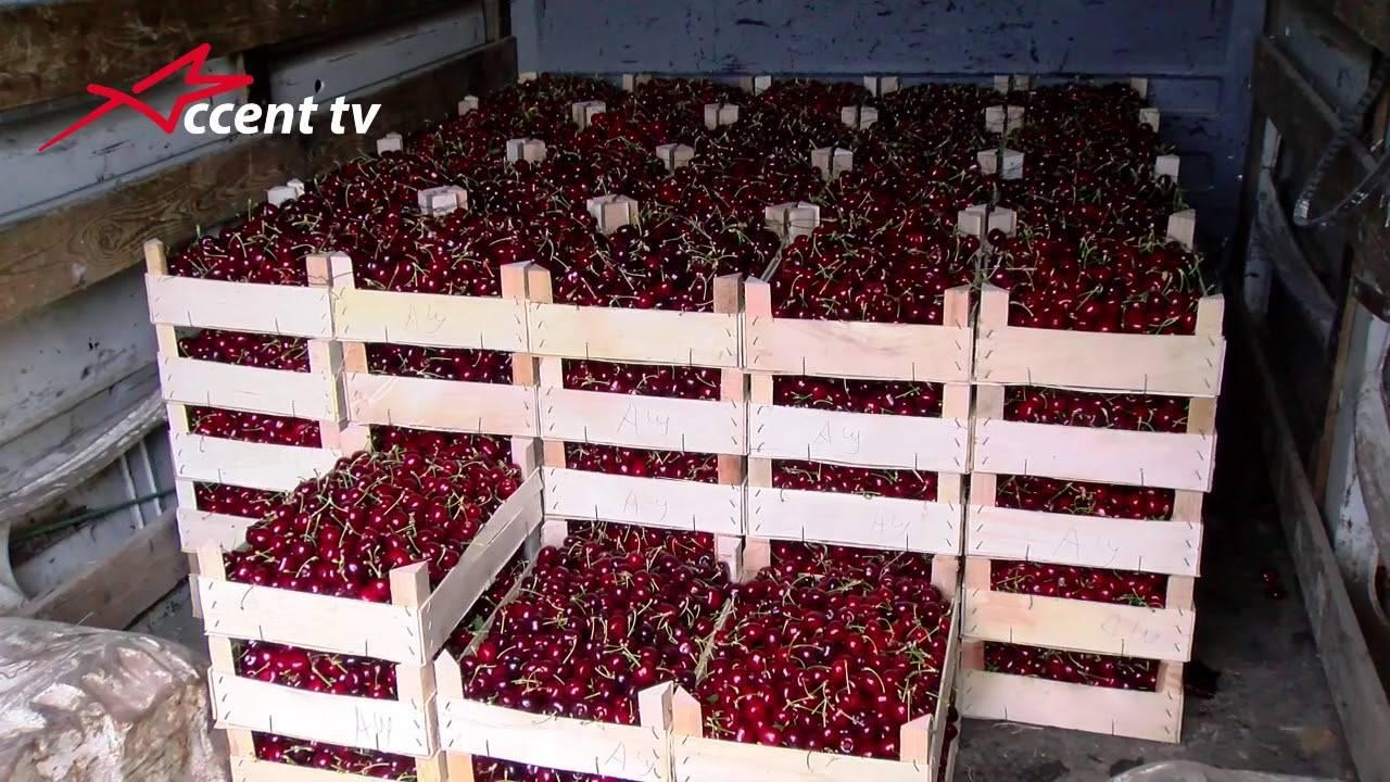 Описание вишни сорта уйфехертои фюртош и история, особенности выращивания