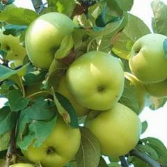 Яблоня феникс алтайский