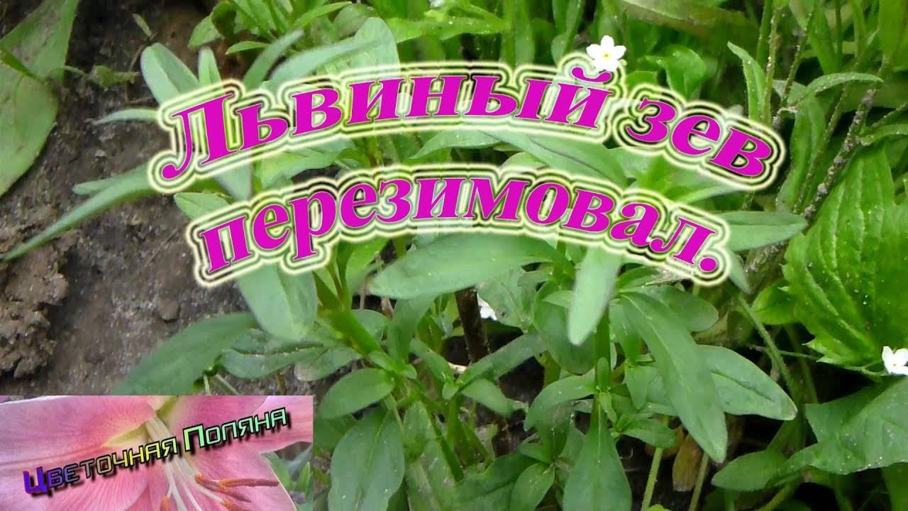 Цветок львиный зев: посадка и уход, выращивание из семян, описание и фото