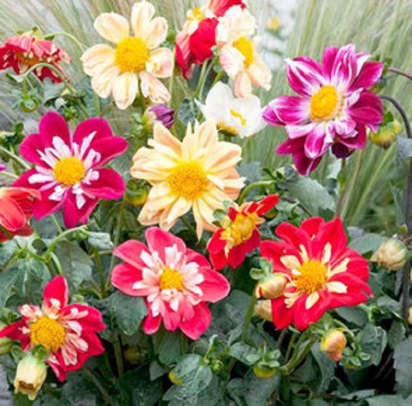 Георгины «веселые ребята»: как посадить, ухаживать и собирать семена
