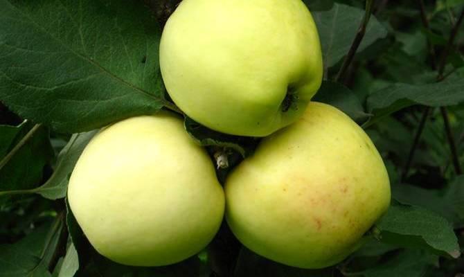Выращивание яблони кальвиль снежный