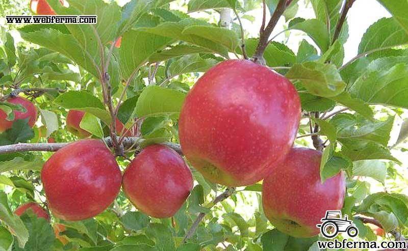 Описание и характеристики яблони сорта заветное, посадка, выращивание и уход