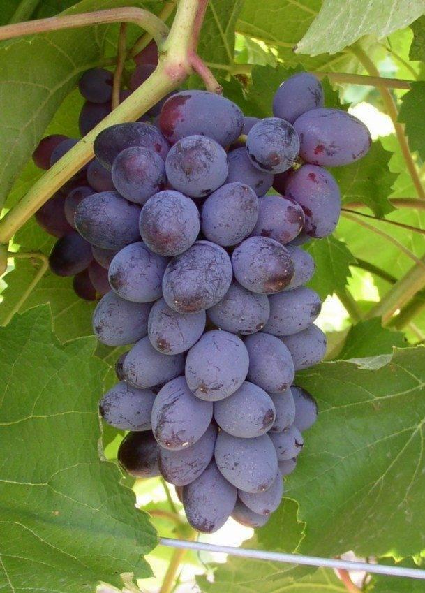 Виноград кишмиш юпитер: американский сорт, которому не страшны русские зимы