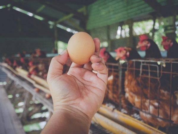 Курица в гнезде, а гнездо пустое – почему куры отказываются нестись. как решить проблему потери яйценоскости?