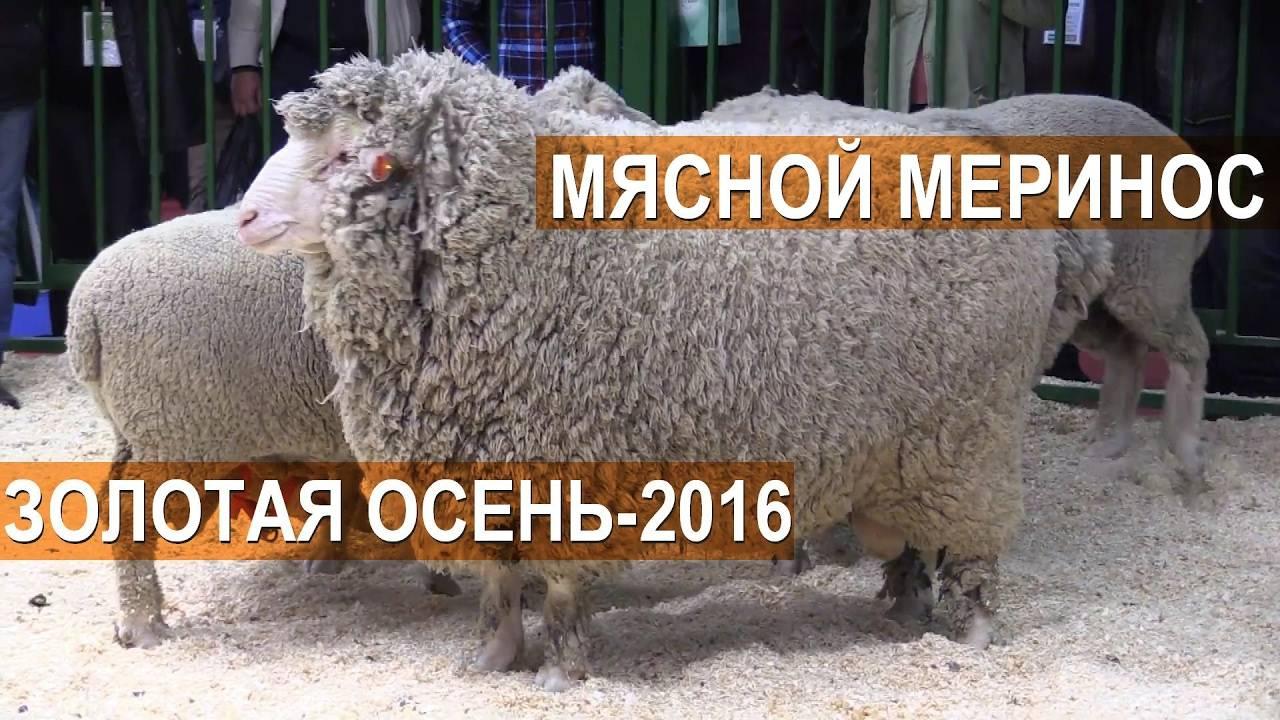 Мериносы — порода овец