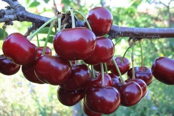 Выносливая любительница солнца — вишня сорта шоколадница