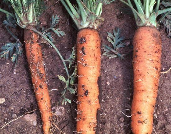 Вредители и болезни моркови: методы лечения и опыт | chernoplodka.ru