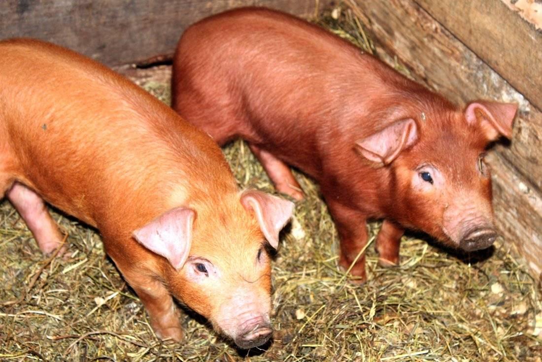 Популярные породы свиней
