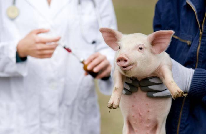 Как измерить температуру у свиньи