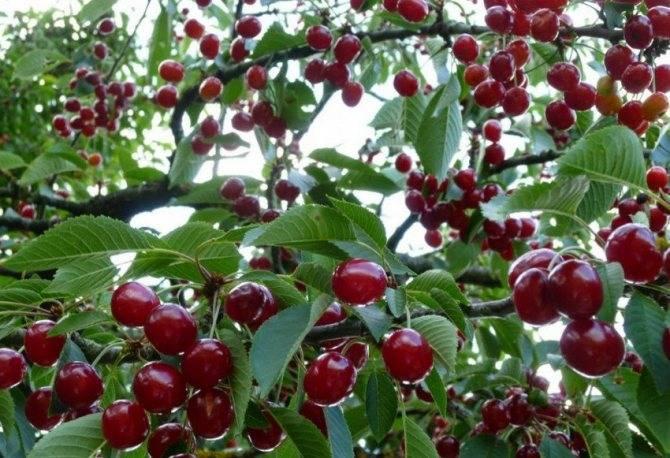 Чудо-вишня — почему ее любят русские садоводы