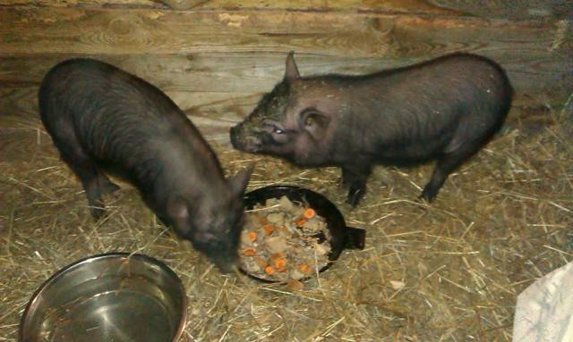 Порода свиней кармалы: характеристика поросят и отзывы