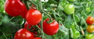 Описание сорта томата Эльф f1, особенности выращивания и уход