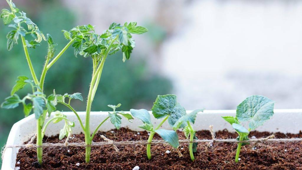 Выращивание и уход за баклажанами в одной теплице с огурцами, можно ли