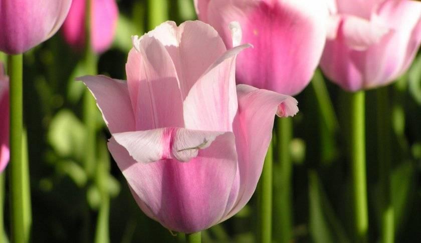 Тюльпан карликовый: особенности, описание сортов и правила ухода
