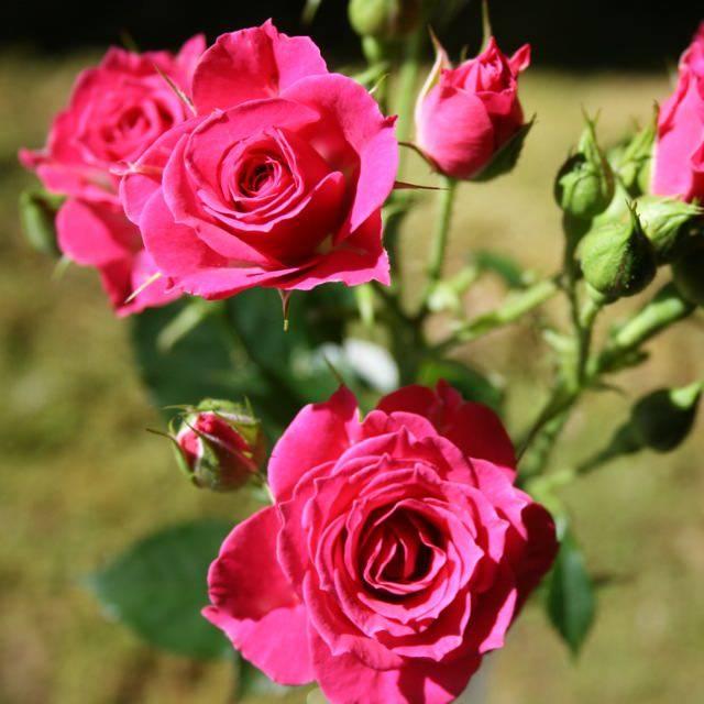 Посадка и уход за розой лидия — описание и фото культуры
