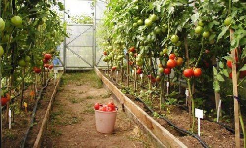 Посадка, выращивание и уход за помидорами в теплице из поликарбоната