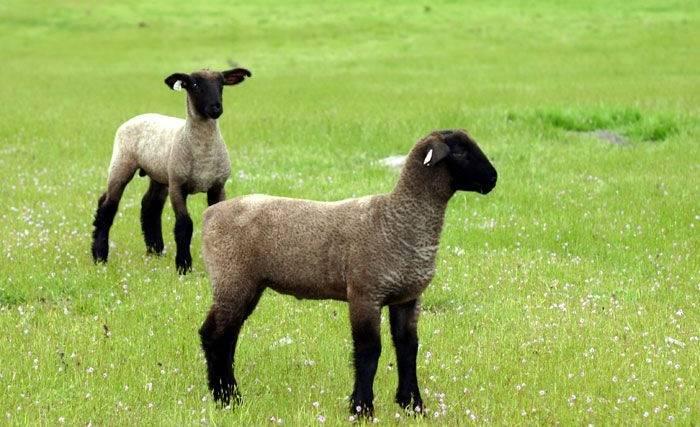 Описание овец породы суффольк