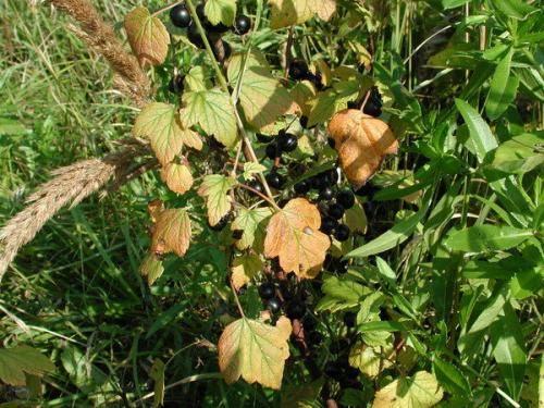 Черная смородина сохнет причина. смородина засыхает вместе с плодами - причины и способы лечения