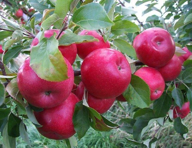 Декоративная яблоня роялти (malus royalty) — посадка и уход