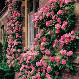Описания лучших сортов роз группы Клаймбер и их характеристика, посадка и уход