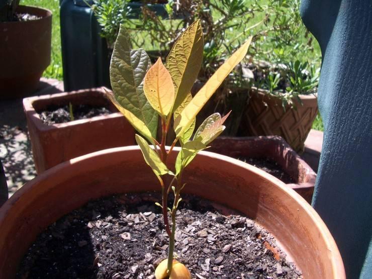 Как посадить косточку и вырастить из нее персик в домашних условиях
