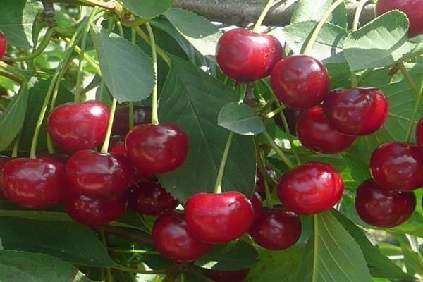 Описание и характеристика сорта вишни призвание