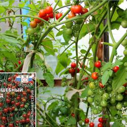 Комфортный в выращивании на дачных участках томат — каскадер: отзывы и описание сорта
